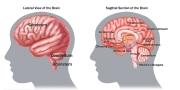 Sample-BrainAnatomy