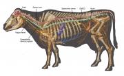 Cow Antomy