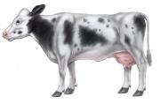 Cow-external