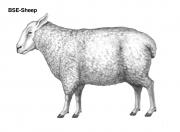 Sheep-external-1